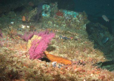 Warty sea cucumber in Channel Islands