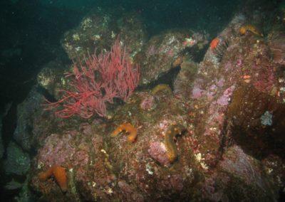 Warty sea cucumbers in Channel Islands