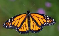 Evenings at the Estuary: Migratory Monarchs